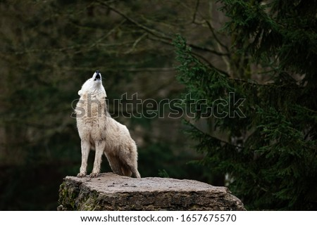 Howling of white wolf in the forest Сток-фото ©