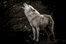 Howling wolf in the dark