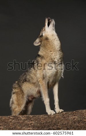 howling wolf with breath studio shot with black background