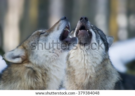 howling wolfs (Canis lupus lupus) in winter #379384048