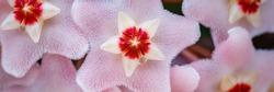 Hoya carnosa flowers. Porcelain flower or wax plant. Hoya carnosa lush inflorescence. Hoya Flower cluster under bright light . Wax Plant (Hoya carnosa) pink blooming flowers cluster. Banner.