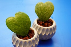 Hoya is an indoor plant. It is a succulent plant with a unique shape and heart-shaped leaves.