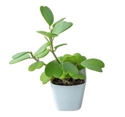Hoya kerrii Craib (Heart shaped plant), Sweetheart Hoya in white plastic pot.