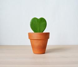 Hoya kerrii house plant in terracotta pot on wooden desk over white