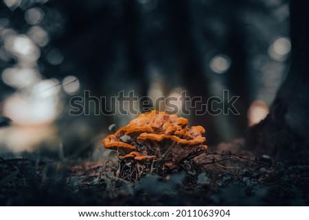 Hub mushroom a beautiful specimen in the forest Zdjęcia stock ©