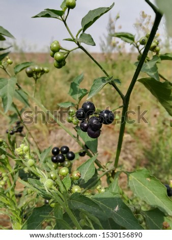 Huckleberry Plant with Edible Fruit  #1530156890