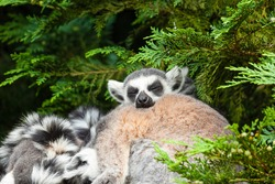 Huddle of ring tailed lemurs asleep with one looking really comfortable.