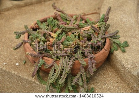 Huernia zebrina subs. insigniflora Succulent creepers, stems with numerous branches are sprouting green, when mature to brown. #1403610524