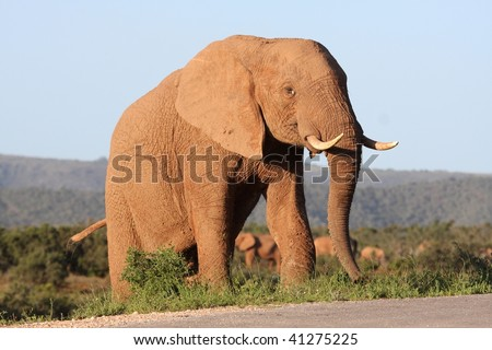 Huge African elephant bull colored by dried mud