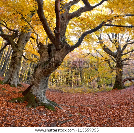 Huge beech in the colorful autumn forest