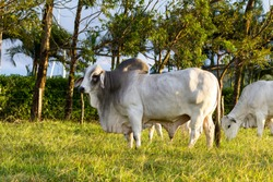 Huge brahman bull in a green pasture in Costa Rica