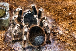 Huge brazilian whiteknee tarantula fluffy, hairy spider sits on the ground, rear view on the belly.
