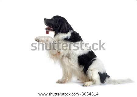 huge brown and white dog put his feet up