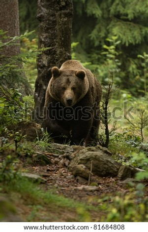Huge brown bear seen from the front in the woods