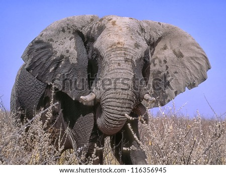 Huge bull elephant mock charge. Wet from waterhole