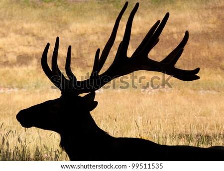 Huge Bull Elk, with velvet antlers