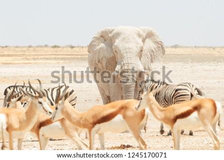 Huge bull of African elephant, Loxodonta africana, in the waterhole in dry Etosha pan among other wild animals. Hostile and arid environment. Wildlife photography in Etosha national park, Namibia.
