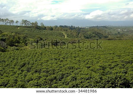 Huge coffee plantation in Central America