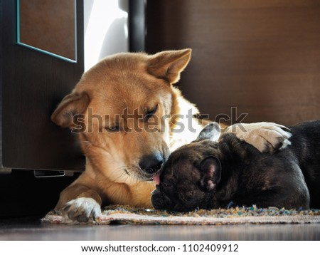 Huge dog affectionately hugs and licks little dog #1102409912