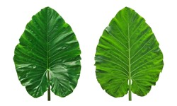 Huge Elephant Ear Leaf. green caladium leaf isolated on white background with clipping path.
