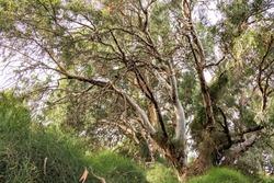 Huge eucalyptus trees in the forest in sunlight