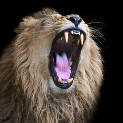 Huge fangs of an Asian lion, isolated on black background. King of beasts, biggest cat of the world. The most dangerous and mighty predator of the world with open chaps. Square image.