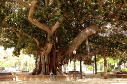 huge ficus tree with a very thick trunk in the Alicante park in Spain