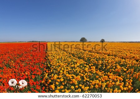 "Huge field blossoming red and the yellow flowers, photographed by an lens ""Fish eye"""