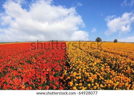 Huge field blossoming red and yellow buttercups and the spring sky with cumulus clouds