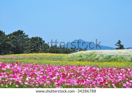 Huge field of flowers with volcano towering in the background