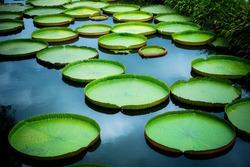 Huge floating lotus, Giant Amazon water lily, Victoria amazonia
