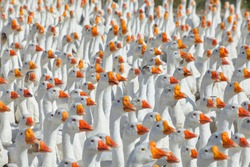 Huge flock of white geese looking in one direction. Group of geese in the barnyard of geese farm.