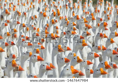 Photo of  Huge flock of white geese looking in one direction. Group of geese in the barnyard of geese farm.