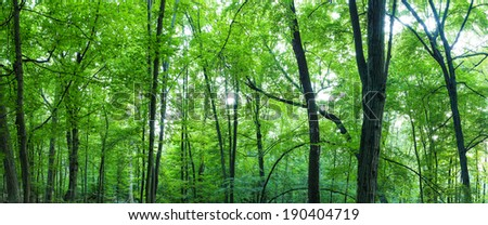 Huge forest panorama. Big picture of trees