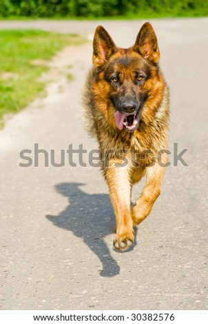 Huge German shepherd promptly rushes directly on camera.