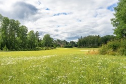 Huge green rural fields covered with white daisies. Rows of trees crowns with foliage on the edge of fields background. Landscapes of Scandinavia on a cloudy summer day. Wild flowers meadows.