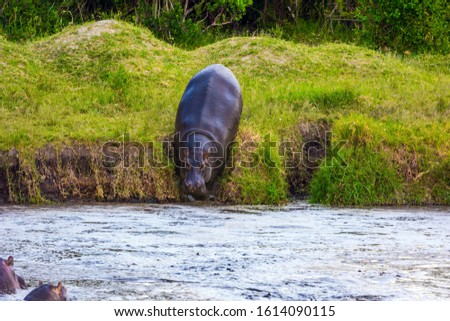 Huge hippo descends to the lake. Hippopotamus is one of the largest modern land animals. Africa. Jeep Safari Masai Mara, Kenya. Concept of exotic, extreme tourism and photo tourism