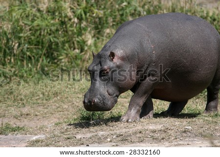 Huge Hippo Walking to Water