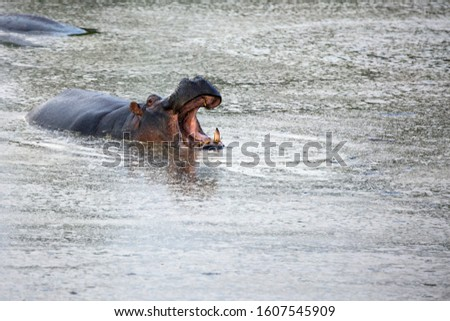 Huge hippo yawns in water. Hippopotamus is one of the largest modern land animals. Africa. Jeep Safari Masai Mara, Kenya. Concept of exotic, extreme tourism and photo tourism