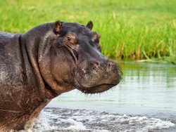 Huge hippopotamus looking straight into the camera from the water's edge in Botswana.