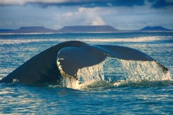 Huge Hump-backed whale (Megaptera novaeangliae) tail in background of Commander Isl plateaus. Angled tail means that whale diving into shallow, animal behavior. Black-white color of tail is individual