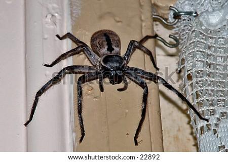 Huge huntsman / mouse spider in our kitchen