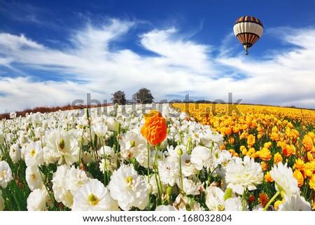 Huge kibbutz field of multi-colored buttercups. Beautiful spring weather, beautiful big balloon flies over the field. The picture was taken Fisheye lens