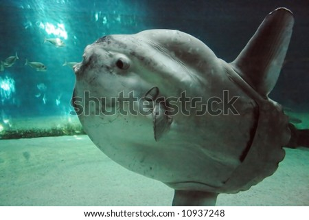 Рыба-луна или по научному мола мола (mola mola) в переводе с латинского...