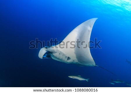 Huge majestic Oceanic Manta Ray with Cobia and fish swimming in blue water #1088080016
