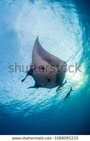 Huge majestic Oceanic Manta Ray with Cobia and fish swimming in blue water #1088085233