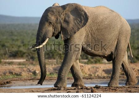 Huge male African elephant drinking water at a waterhole