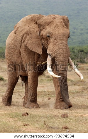Huge male African elephant with curled trunk and large tusks