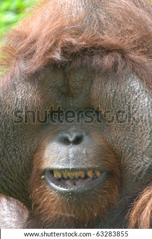 huge male orangutan monkey, borneo, south east asia orange monkey