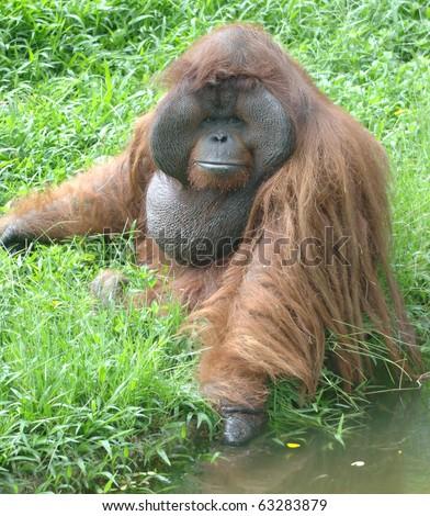 huge male orangutan monkey, borneo, south east asia orange monkey